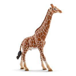 Giraffe, male